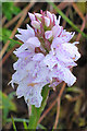 NG3330 : Heath Spotted Orchid (Dactylorhiza maculata) by Anne Burgess