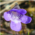 NG6008 : Common Butterwort (Pinguicula vulgaris) by Anne Burgess