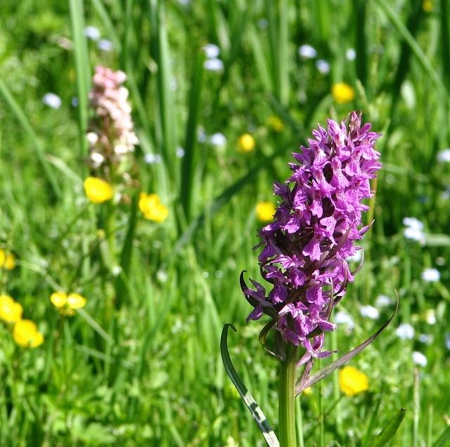 Orchids near Sisland Carr