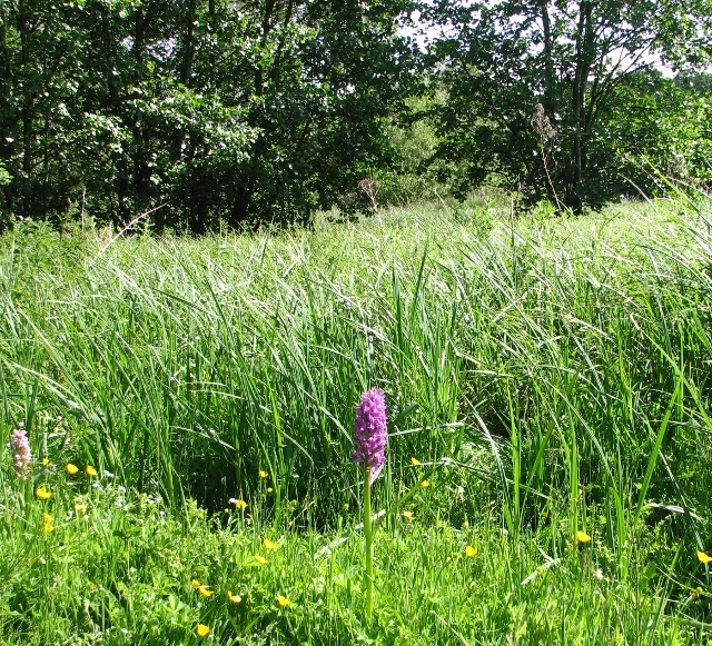 Orchids near Sisland