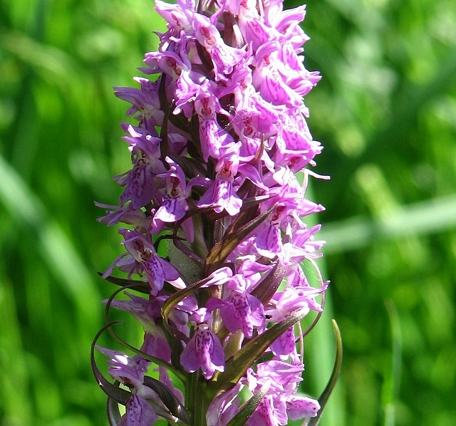 Marsh orchid (detail)