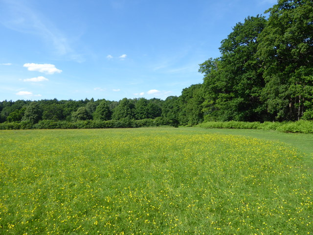 Field of buttercups in Weald Country Park