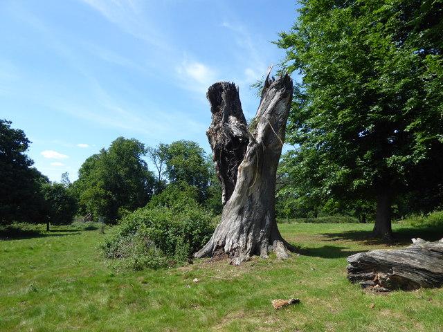 Dead tree in Weald Country Park