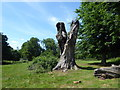 TQ5794 : Dead tree in Weald Country Park by Marathon