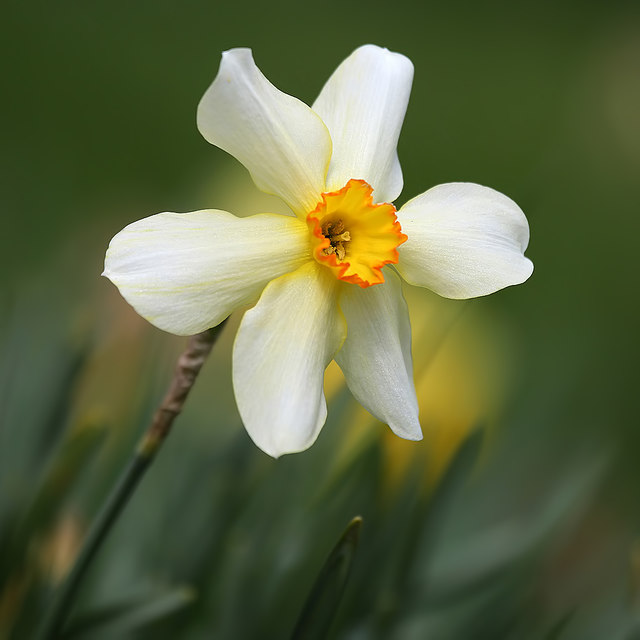 A daffodil at Bemersyde House gardens