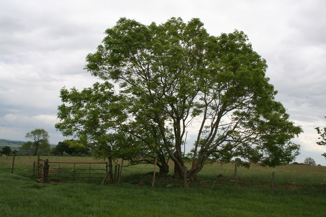 Arthington:  Is this Bowshaw's Ash?