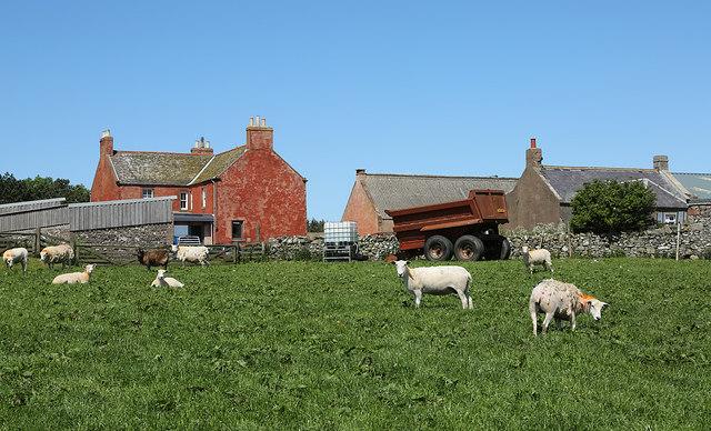 Sheep at Dowlaw Farm