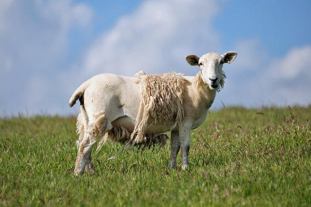 A sheep at Dowlaw