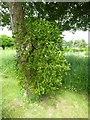 SO7113 : Mistletoe on a tree trunk by Philip Halling