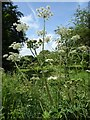SO7113 : Hogweed in Westbury Court Garden by Philip Halling