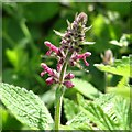 TG3204 : Hedge woundwort (Stachys sylvatica) by Evelyn Simak