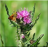 TG3204 : Large Skipper butterfly on Marsh thistle flower by Evelyn Simak