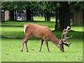 TQ1569 : Red deer stag in Bushy Park by Steve Daniels