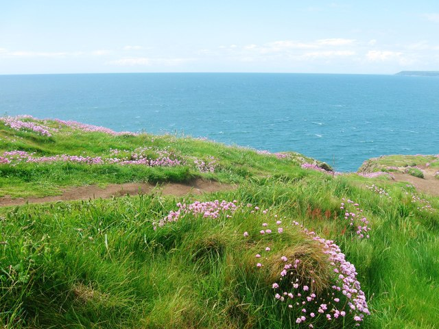 Banks of pink thrift on the western  edge of Burgh Island
