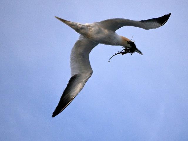 Gannet over the Coast of Craigleith