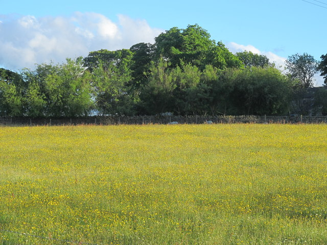 Buttercup meadow above Allendale Town