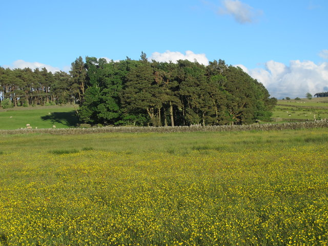 Buttercup meadow and copse northwest of The Spittal