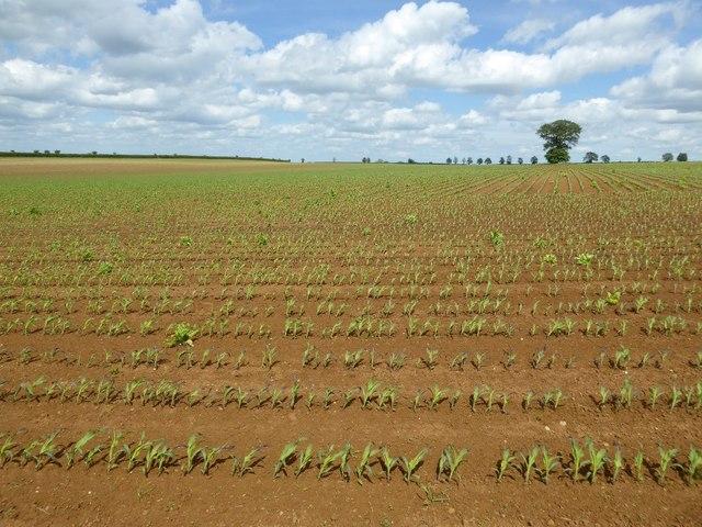 A growing maize crop