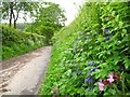 SJ2141 : Hedgerow flowers, Allt-y-Badi by Stephen Craven