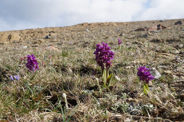 Early Purple Orchids (Orchis mascula), Keen of Hamar