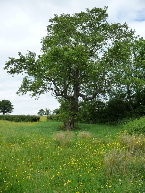 Tree in a buttercup meadow, east of Ruthland Farm