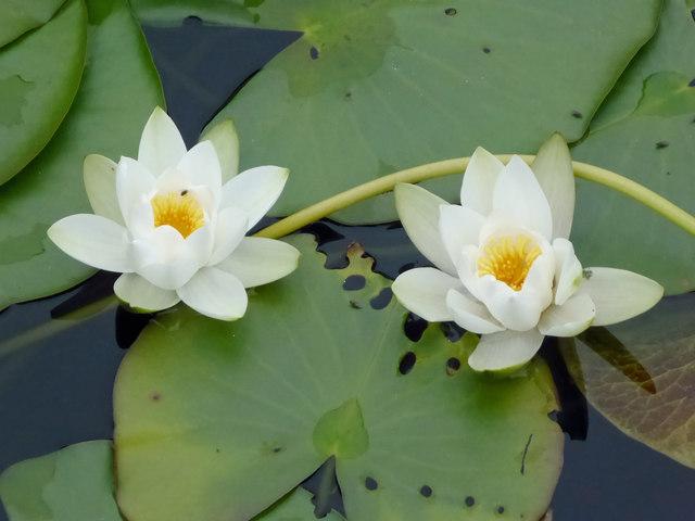 Bosherton water lilies