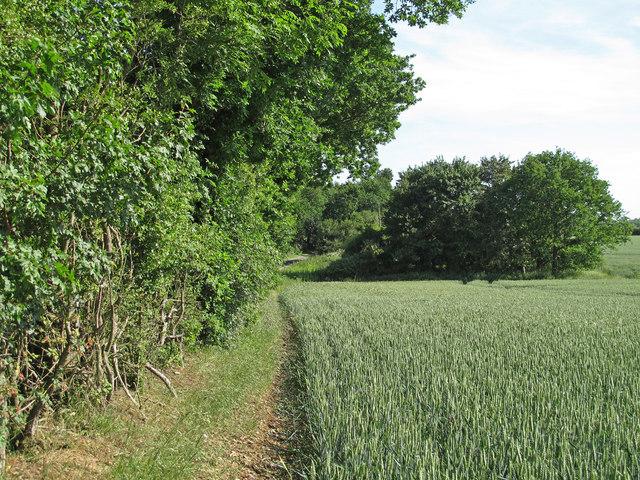 Wheat field margin near Green Street, Fryerning