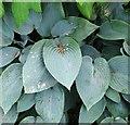 TF7412 : Hosta (Hosta) - foliage by Evelyn Simak