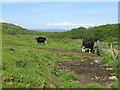 NR6550 :  Cattle at Drumyeonmore Farm by M J Richardson
