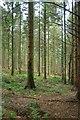 SW9968 : Coniferous woodland, Hustyn Wood by Derek Harper