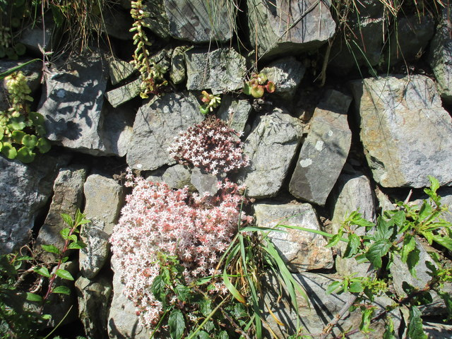 Stonecrop growing on a wall near the Signal Tower