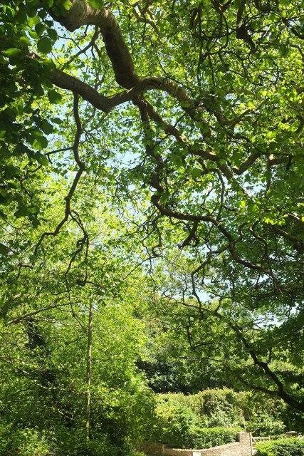 Sycamores near Embridge Cross