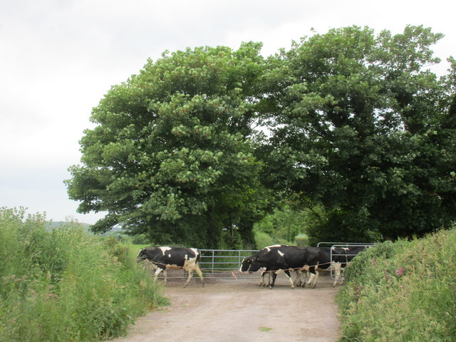 On the way to the milking parlour