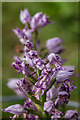 SU8186 : Military Orchid (Orchis militaris) by Ian Capper