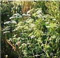 TG3003 : Hemlock (Conium maculatum) by Evelyn Simak