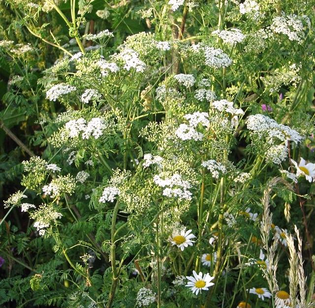 Hemlock (Conium maculatum)