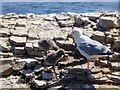 NZ4164 : Herring gull and chicks at Lizard Point by Oliver Dixon