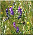 TG2804 : Tufted vetch (Vicia cracca) by Evelyn Simak