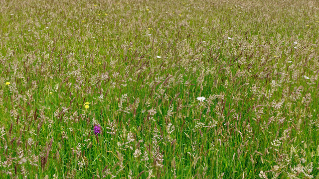 Wildflower meadow, Colonsay