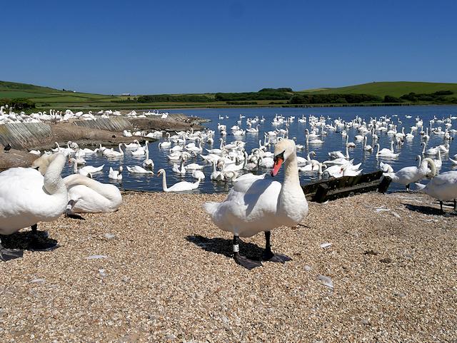 Swans on the Fleet at Abbotsbury Swannery