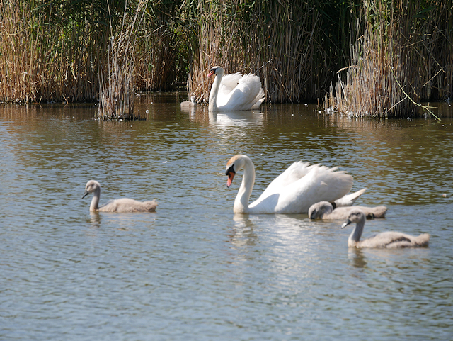 Swans and Cygnets in Rearing Pool at Abbotsbury
