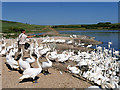 SY5783 : Feeding Time at Abbotsbury Swannery by David Dixon