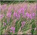 TG1903 : Rosebay willowherb  (Chamaenerion angustifolium) by Evelyn Simak