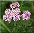 TG1903 : Yarrow (Achillea millefolium) by Evelyn Simak