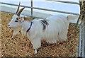 SJ7177 : Gorgeous Goats (3) by Anthony O'Neil