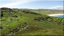 NR4299 : Cows grazing above Balnahard by Julian Paren