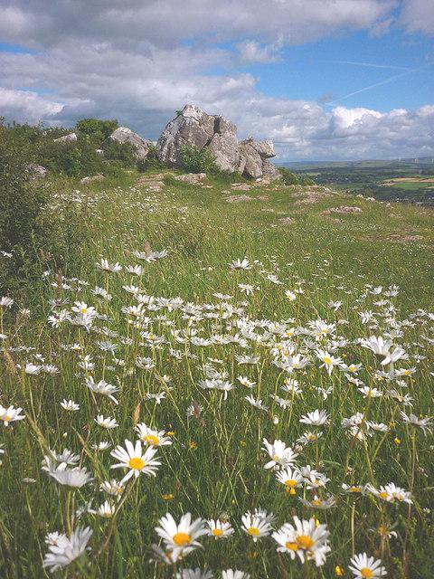 Ox-eye daisies on Warton Crag