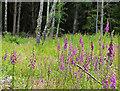 NO4924 : Foxgloves at the Tentsmuir Forest by Mat Fascione