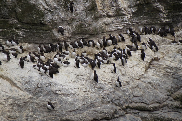 Guillemots (Uria aalge) at Sumburgh Head