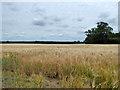 TL8069 : Field of barley by Robin Webster